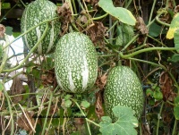 COURGE du siam-1.jpg