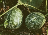 COURGE du siam.jpg