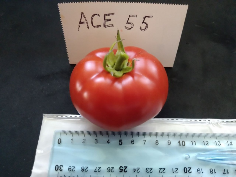 Fichier:Tomate ace 55 vf-1.jpg