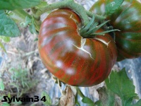 Tomate chocolate stripes-2.jpg