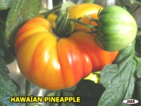 Tomate hawaïan pineapple.jpg