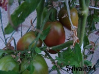 Tomate purple russian-2.jpg