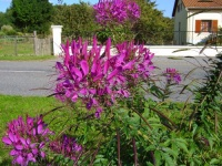 Cleome spinosa-1.jpg