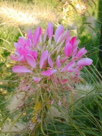 Cleome spinosa-2.jpg
