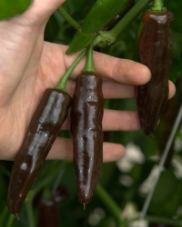 Fatalii chocolate-1.jpg
