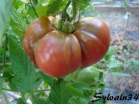 Tomate aker s west Virginia black-1.jpg