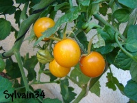 Tomate amish cherry op.jpg