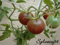 Tomate chocolate cherry.jpg